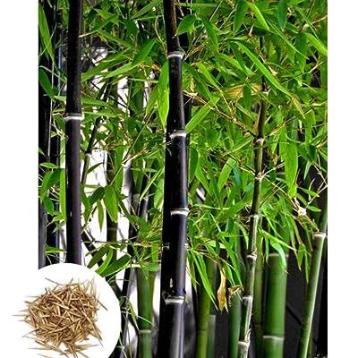 Escolourful Novel Plants Bamboo Seeds Bonsai Seeds Tree Seeds for Home Garden, 100pcs : Garden & Outdoor
