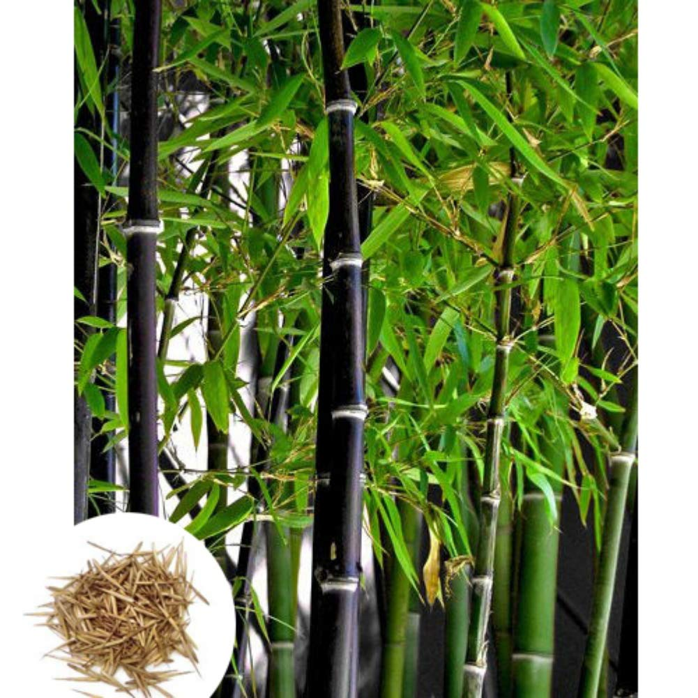 ChYoung 100 Pieces Purple Bamboo Seeds Moso-Bamboo Seeds Tree Plant Seeds Easy Grow Tree Seeds