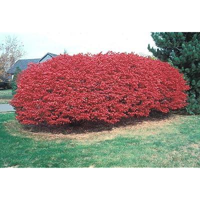 25 Burning Bush Seeds - Euonymus alatus : Garden & Outdoor