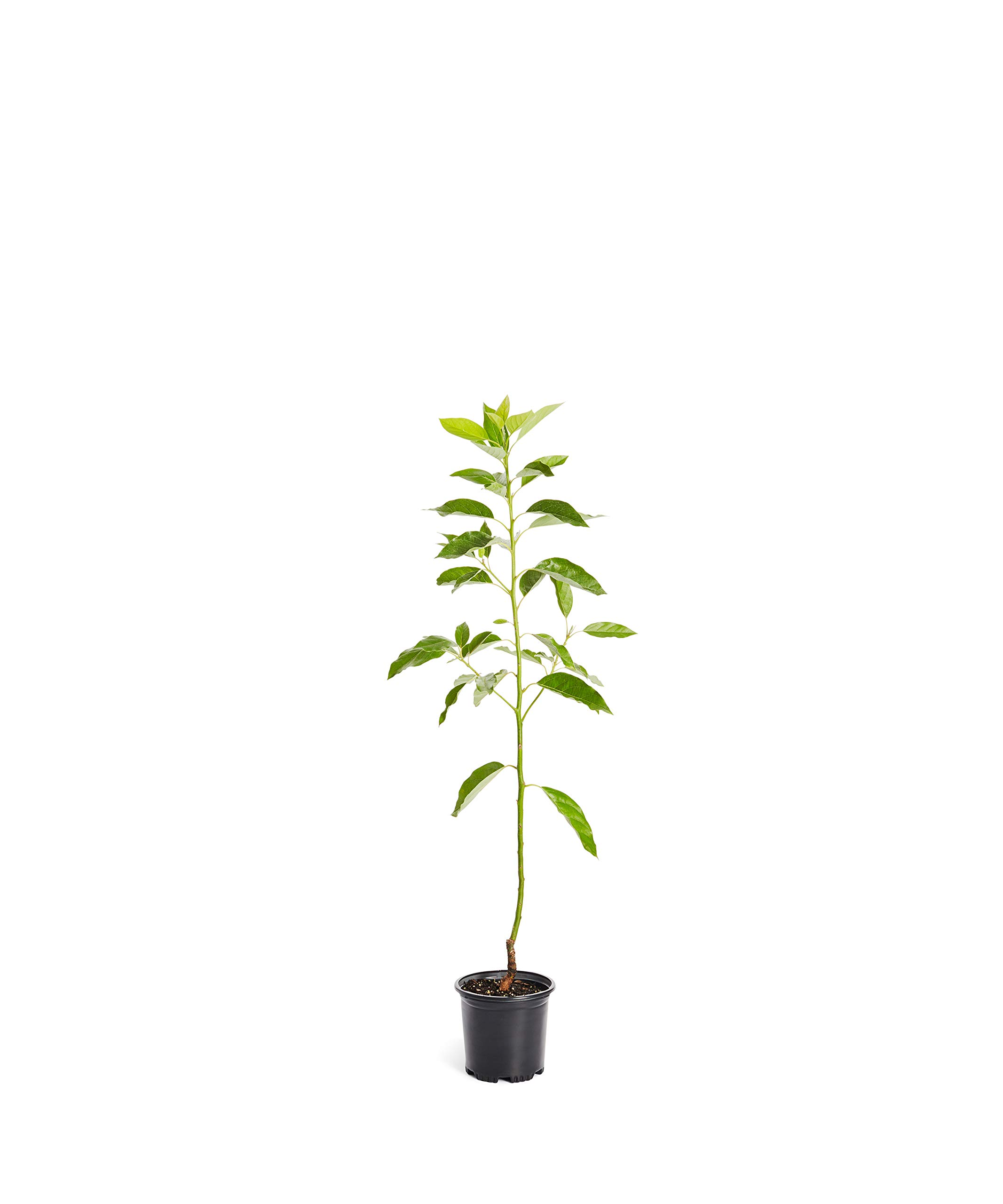 Cold Hardy Avocado Tree - (Mexicola Grande) - Get Delicious Avocados Year Round from This Fruit Tree by Brighter Blooms Nursery - 1-2 ft. | Cannot Ship to AZ by Brighter Blooms (Image #1)