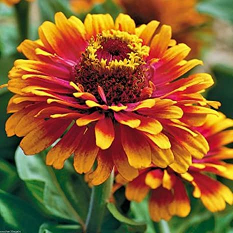 Amazon zowie yellow flame zinnia 20 seeds bold bright yellow flame zinnia 20 seeds bold bright beautiful thats what it is mightylinksfo