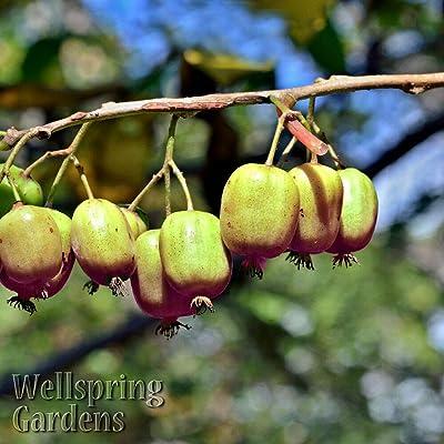 Tiyuki Female Hardy Kiwi Fruit Live Plant Actinidia arguta 'Ananasnaja' Vine Anna's : Garden & Outdoor