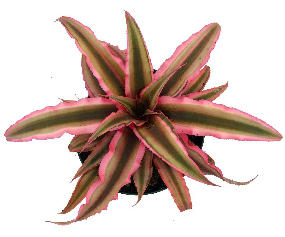 Amazon.com : Pink Earth Star Plant - Cryptanthus - Easy to Grow - 4 ...