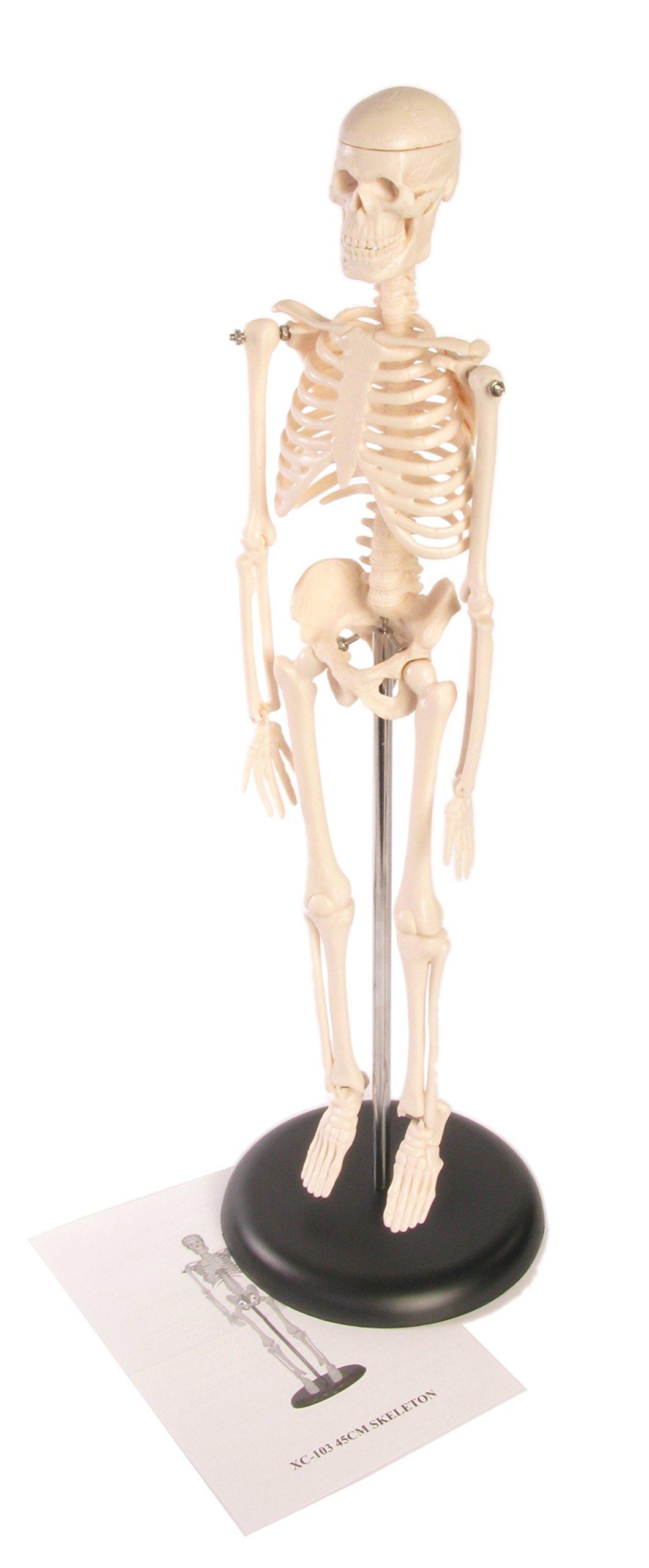 American Educational Skeleton Model, 17'' Height
