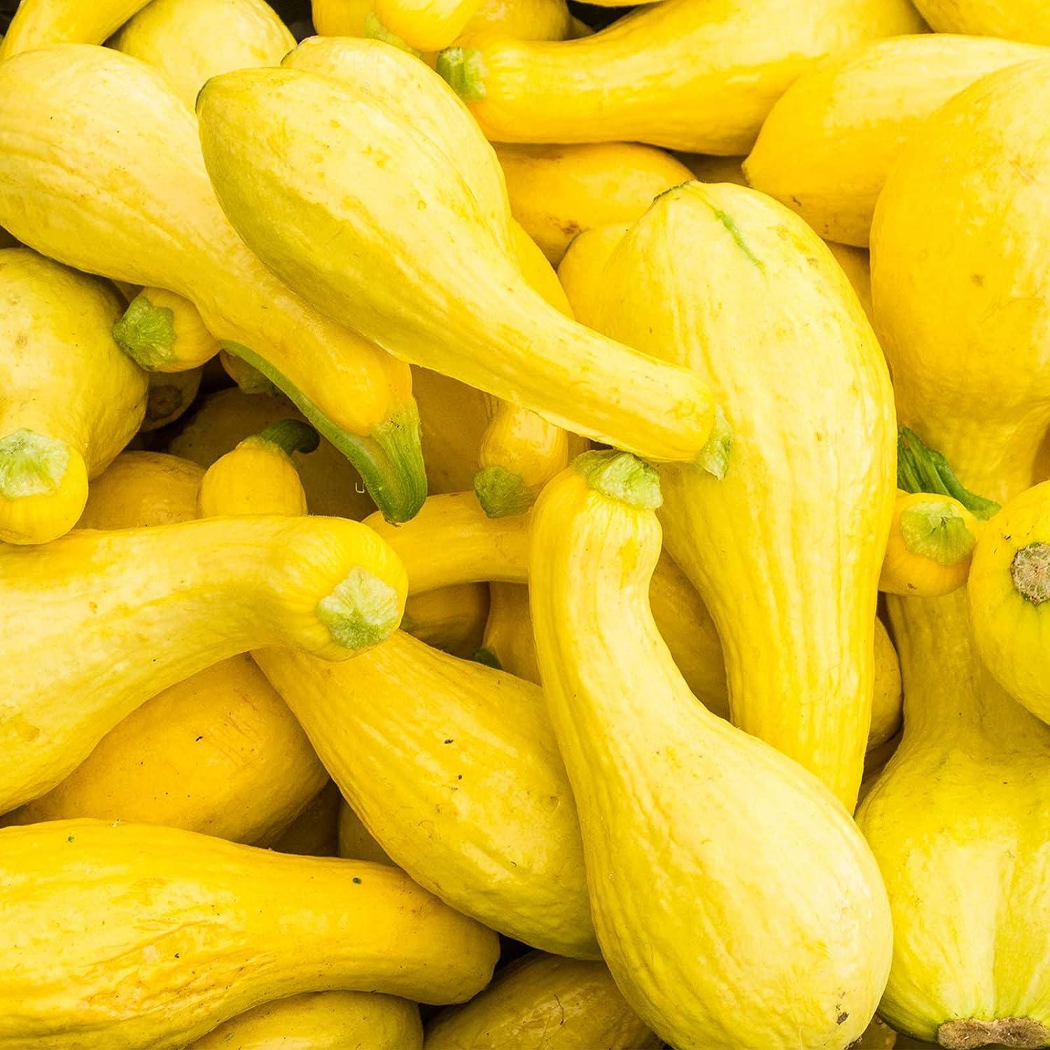 Crookneck Summer Squash Garden Seeds - 1 Lbs - Organic, Heirloom, Non-GMO - Vegetable Gardening Seed