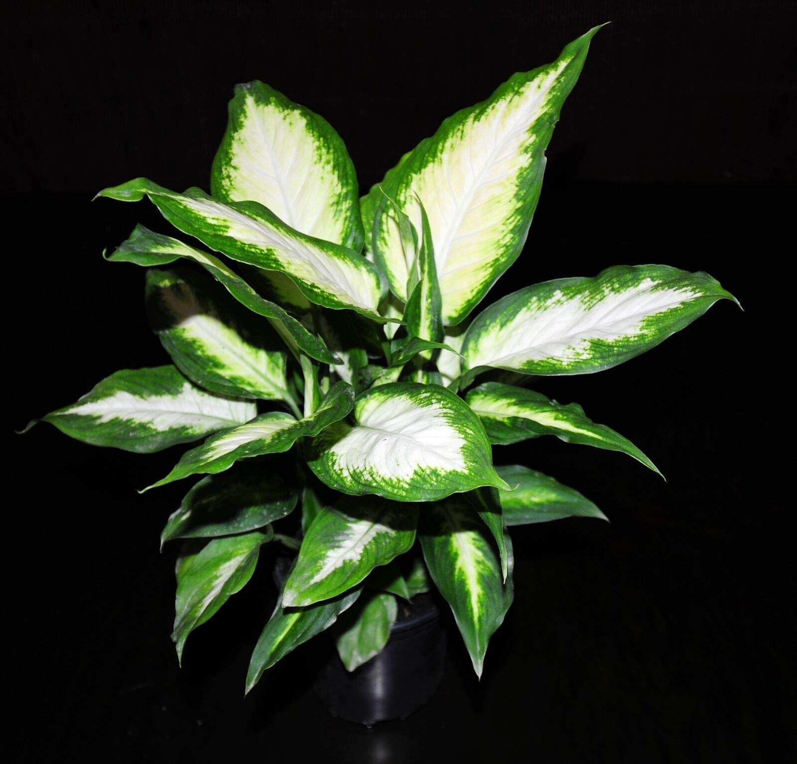 Dieffenbachia Camille Live Tropical Houseplant Shipped in 4''Pot~Large & Healthy! (Premium Quality) by AY-Premium