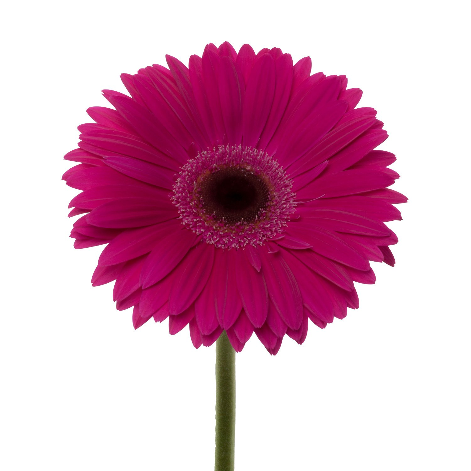 Gerbera Dark Center | Dark Pink - 80 Stem Count by Flower Farm Shop