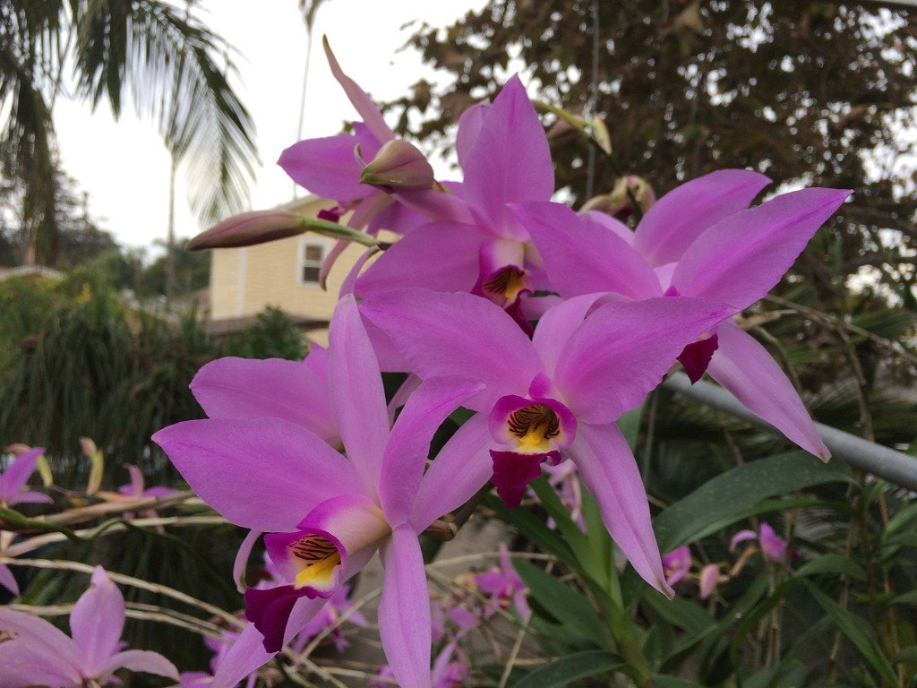 Andy`s Orchids - Laelia anceps 'Pale L&R' - Orchid Plant - Fragrant - Easy-Grower - Indigenous to Mexico