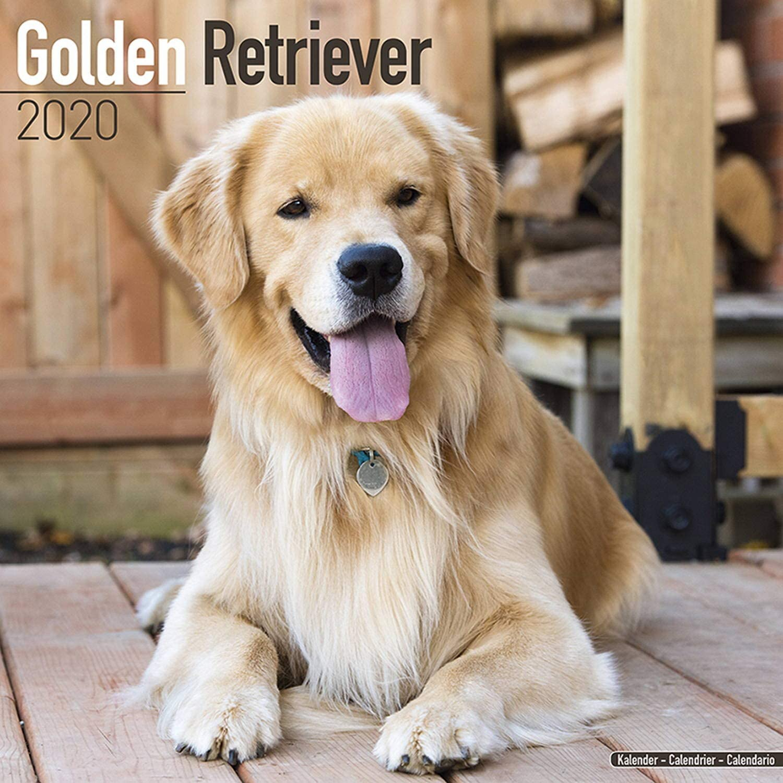 Amazon Com Golden Retriever Calendar 2020 Dog Breed Calendar