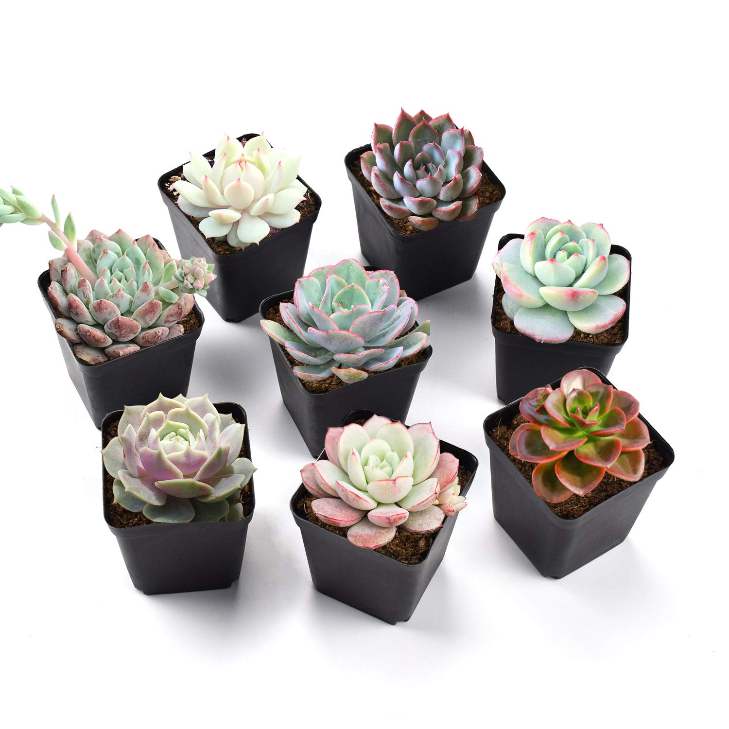 Succulent Plants, 8 Pack of Assorted Rosettes, Fully Rooted in 2'' Planter Pots with Soil, Rare 8 Varieties, Unique Real Live Indoor Succulents/Cactus Décor by The Next Gardener