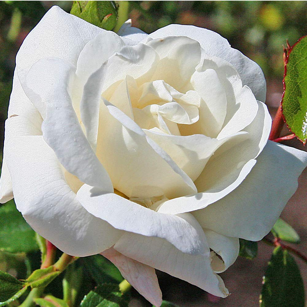 Own-Root One Gallon White Dawn Climbing Rose by Heirloom Roses