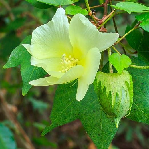 Semillas de algodón Levant - Gossypium herbaceum: Amazon.es: Jardín