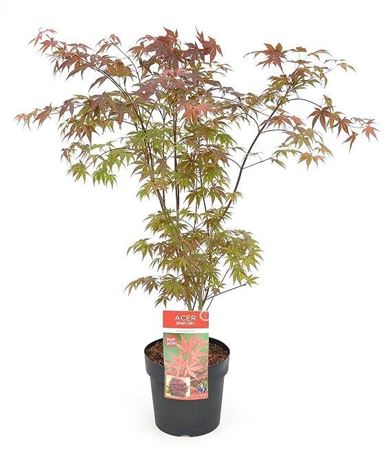 Japanischer Blutahorn Acer palmatum 1 Baum mit 50-60 cm Frosthart ...