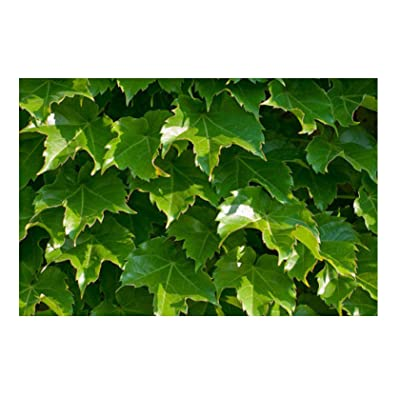 Seeds Ivy, Boston Ivy, Climbing Vine Perennial, 28 Seeds : Garden & Outdoor