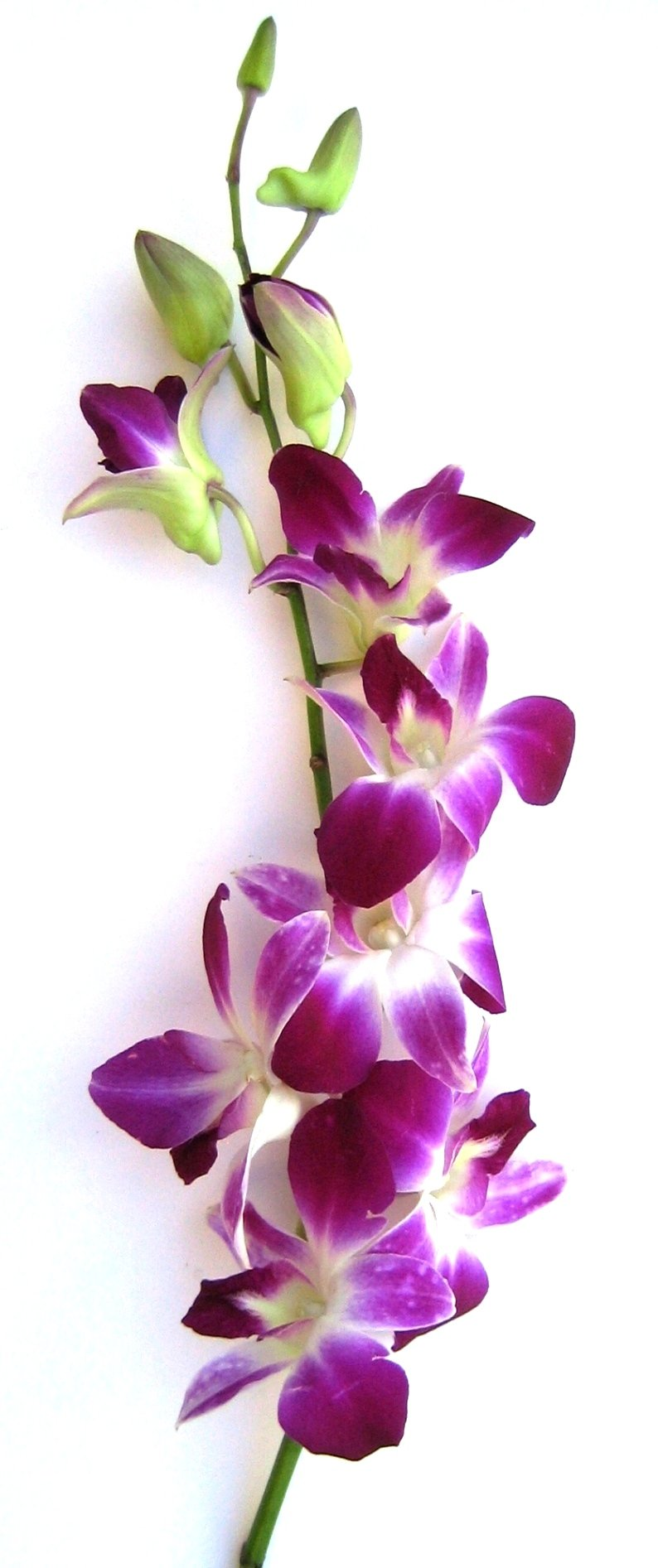 Fresh Flowers - 20 Premium Purple Dendrobium Orchids with Vase by Just Orchids (Image #1)