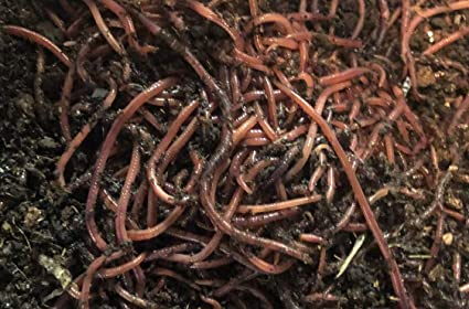 Amazon.com: HomeGrownWorms.com - 250 lombrices de tierra Red ...