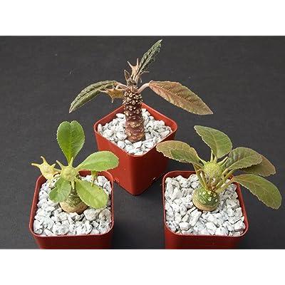 """DORSTENIA Collection Variety Mix Exotic Bonsai Africa Caudex Rare 3 Plant 2"""" Pot : Garden & Outdoor"""