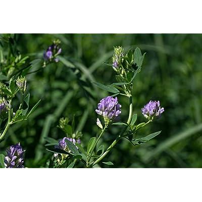 Alfalfa Seed (25 LBS) : Garden & Outdoor