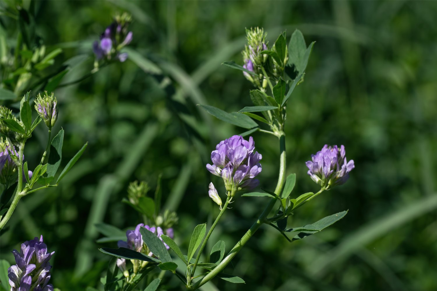 Alfalfa Seed (10 LBS) by Nature's Seed (Image #1)