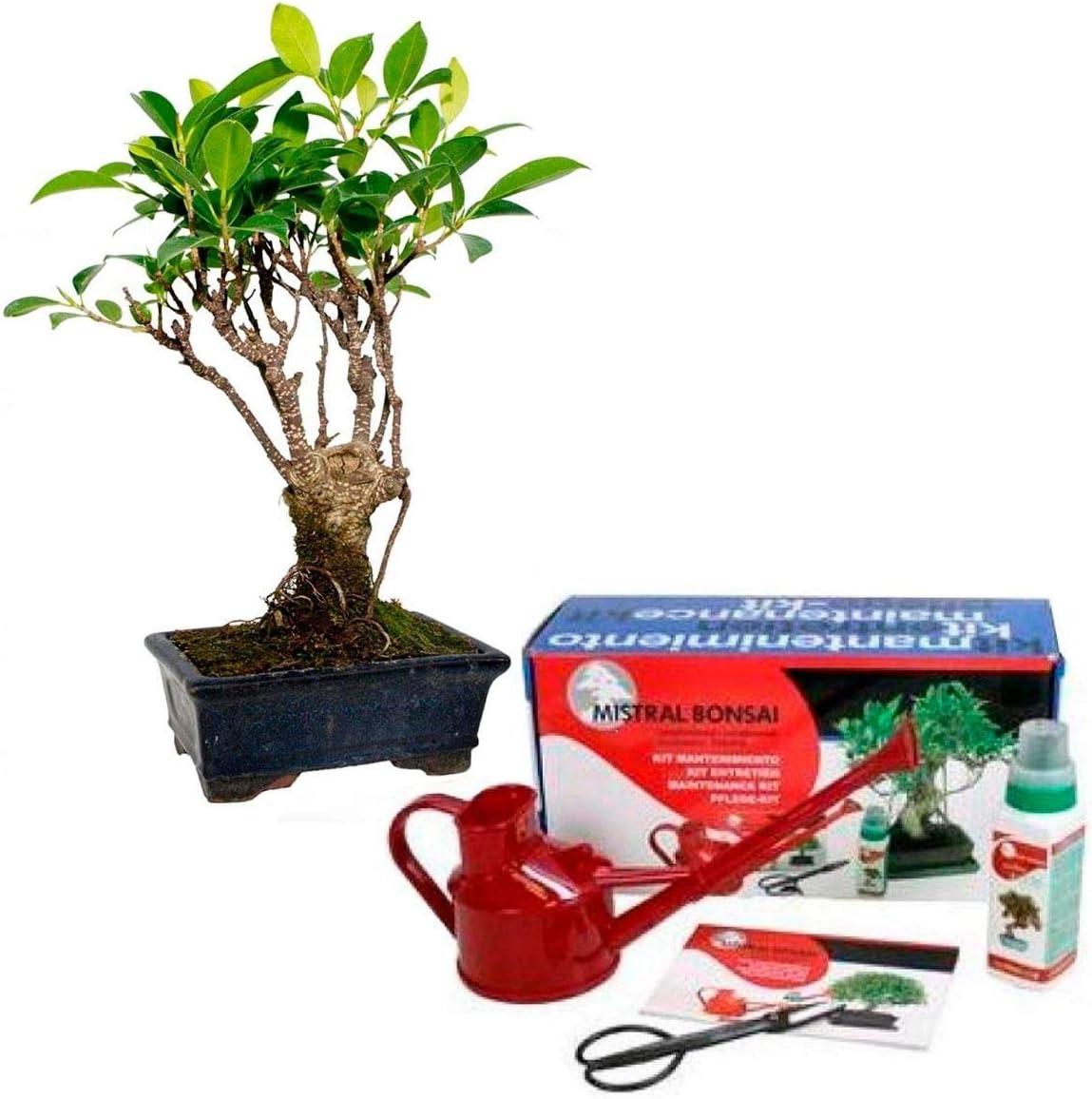 Pack básico de iniciación al bonsái Ficus retusa 5 años