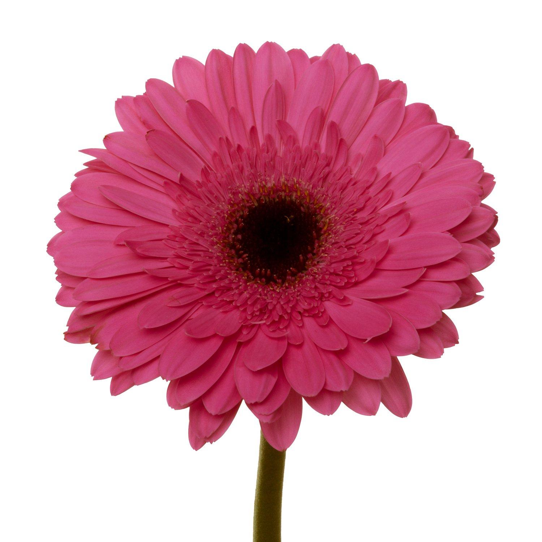 Gerbera Dark Center | Pink - 40 Stem Count by Flower Farm Shop