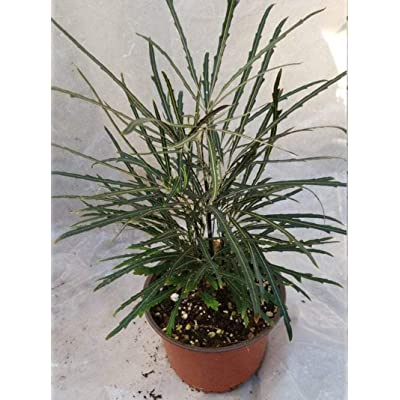 AchmadAnam - Live Plant - Aralia elegantissima - 1 Feet Tall - Ship in 1 Gal Pot. E9 : Garden & Outdoor