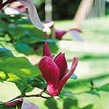 Magnolie Susan - 1 strauch
