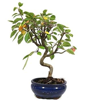Manzano ornamental, Malus, bonsái para exterior, 8 años, altura 24 cm