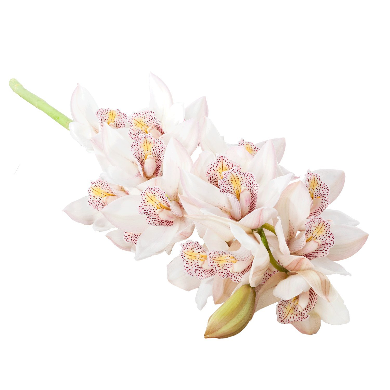 Cymbidium Stems Large blooms | White - 8 Stem Count