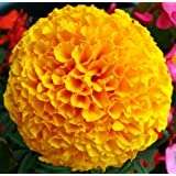 Double Yellow Marigolds - My Secret Gardens