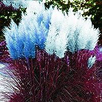 Kisshes Giardino - Semi di erba americana fioritura pampas (Cortaderia selloana) semi ornamentali di erba ornamentale rare
