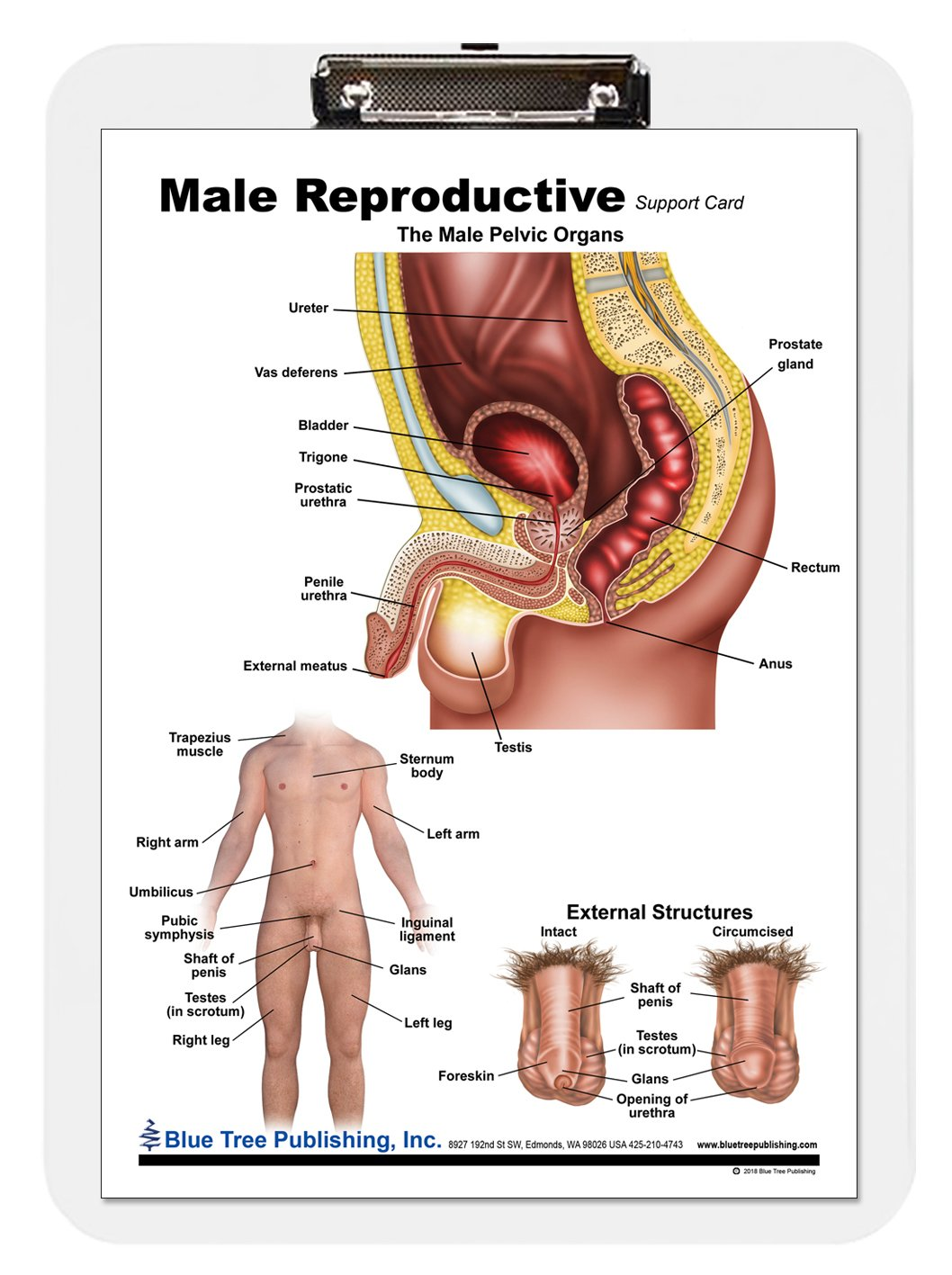 Male Reproductive Anatomy Poster Amazon Industrial Scientific
