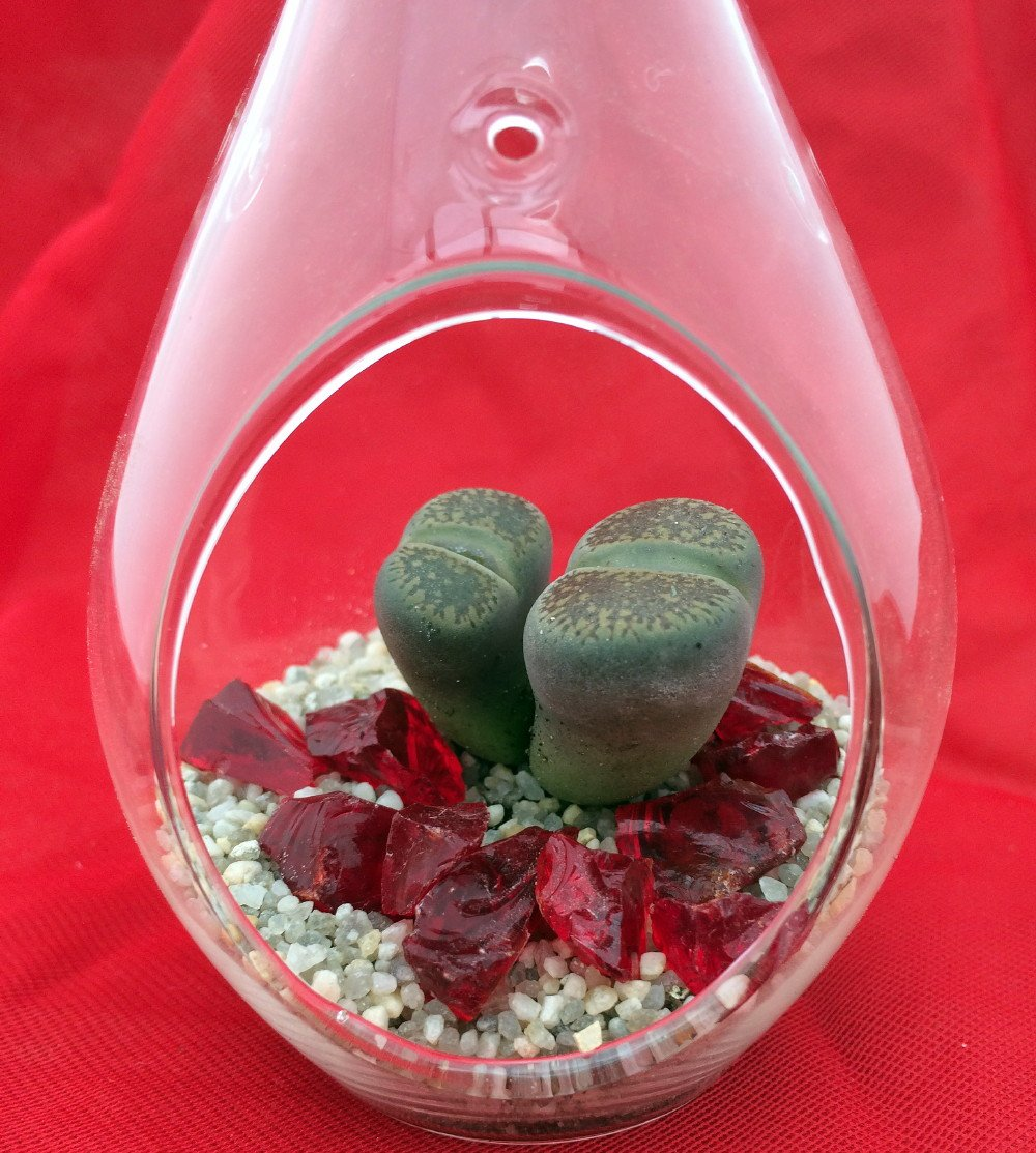 Hanging Teardrop Live Living Stone Terrarium Kit -Easy to Grow-2.5'' x 4.5'' Glass