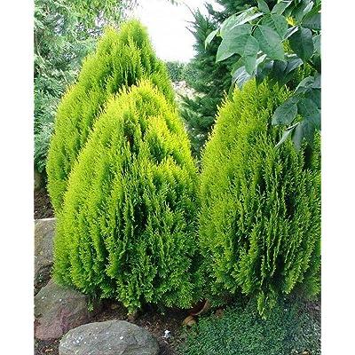 5 Seeds Nana Chinese Arborvitae Thuja Orientalis Compacta : Garden & Outdoor