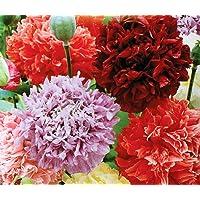 Papavero da oppio - mix di fiori doppi; semi di papavero - 1000 semi
