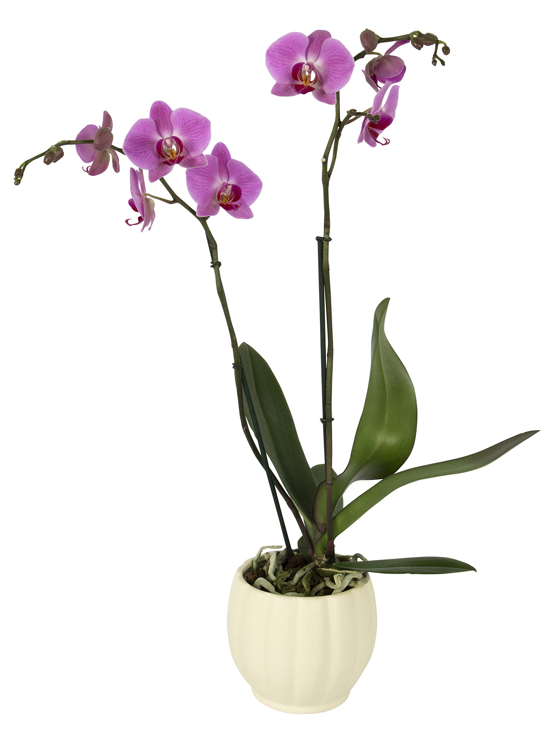 Color Orchids Live Blooming Double Stem Phalaenopsis Orchid Plant in Ceramic Pot, 20'' - 24'' Tall Pink