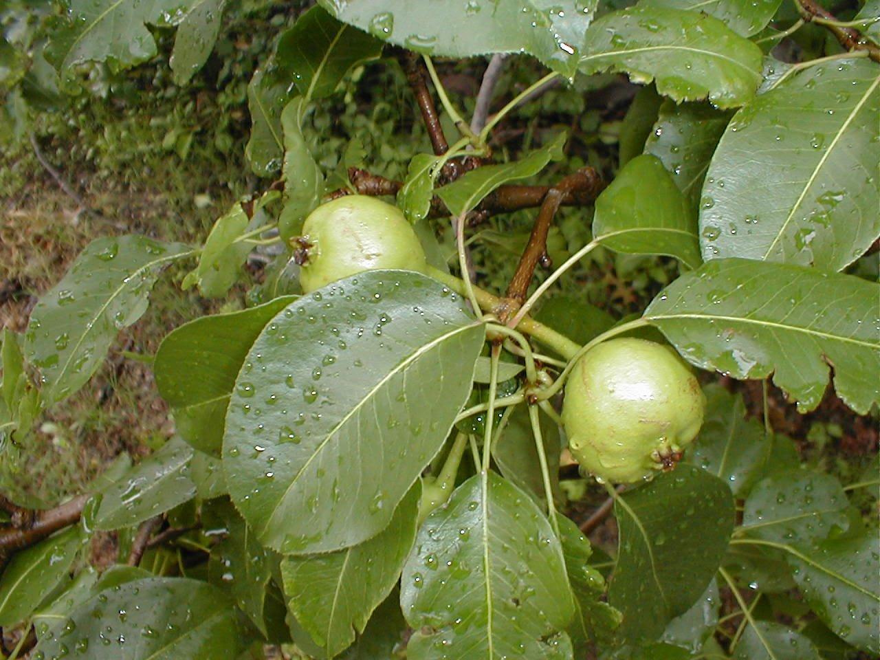 Amazon 20 Bartlett Pear Tree Pyrus Communis Fruit Seeds Comb