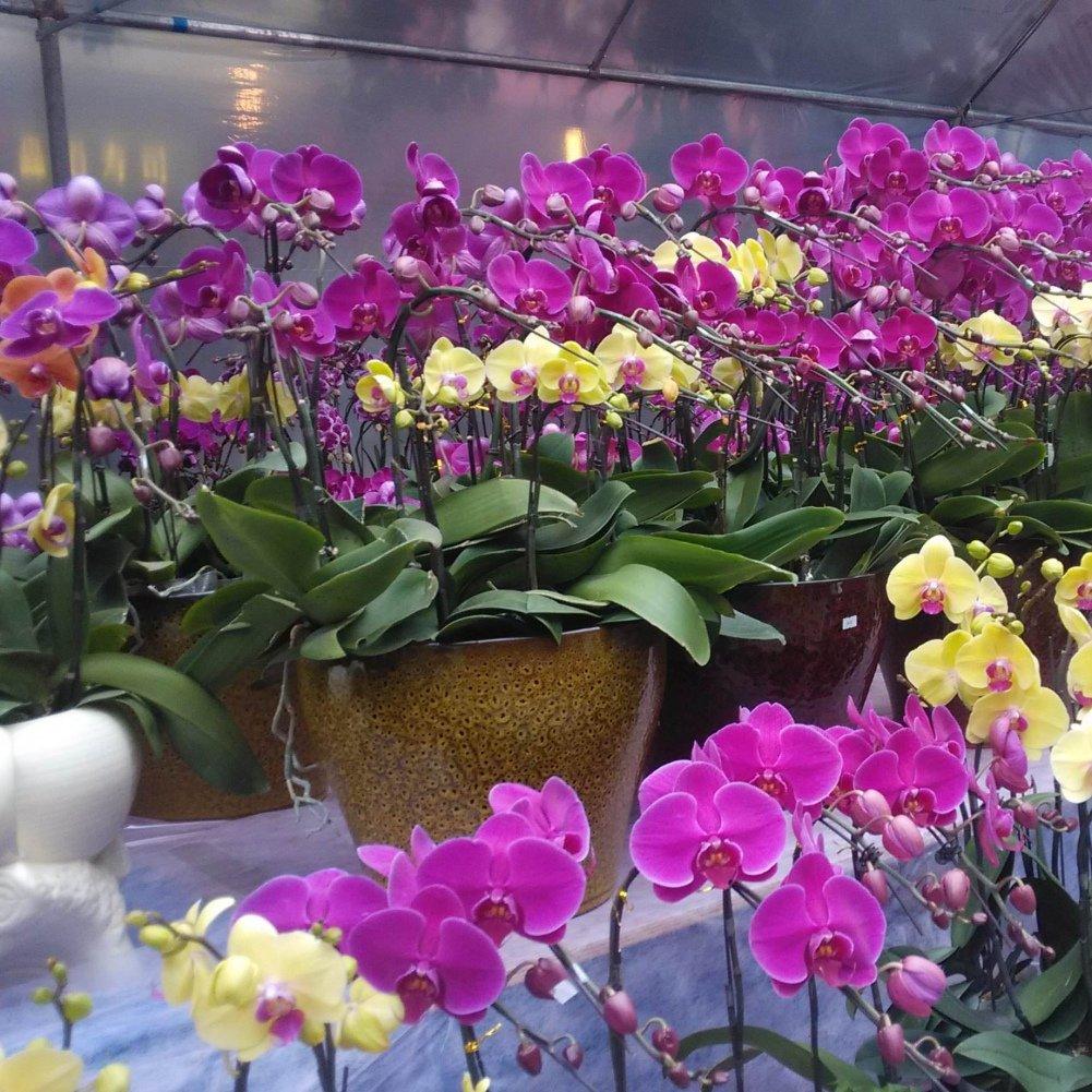 KAYI Phalaenopsis Orchid Flower Seeds Bonsai Plant Flowering Garden 200 Piezas