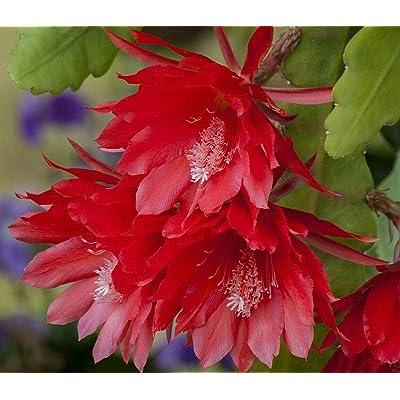 """AchmadAnam - 4"""" Pot - Red Orchid Cactus - Epiphyllum - Exotic : Garden & Outdoor"""