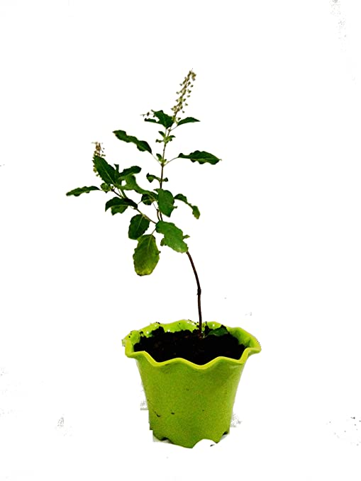 Image result for tulsi plant