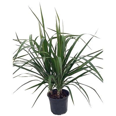 "Madagascar Dragon Tree - Dracaena marginata - 6"" Pot - Easy to Grow House Plant: Grocery & Gourmet Food"