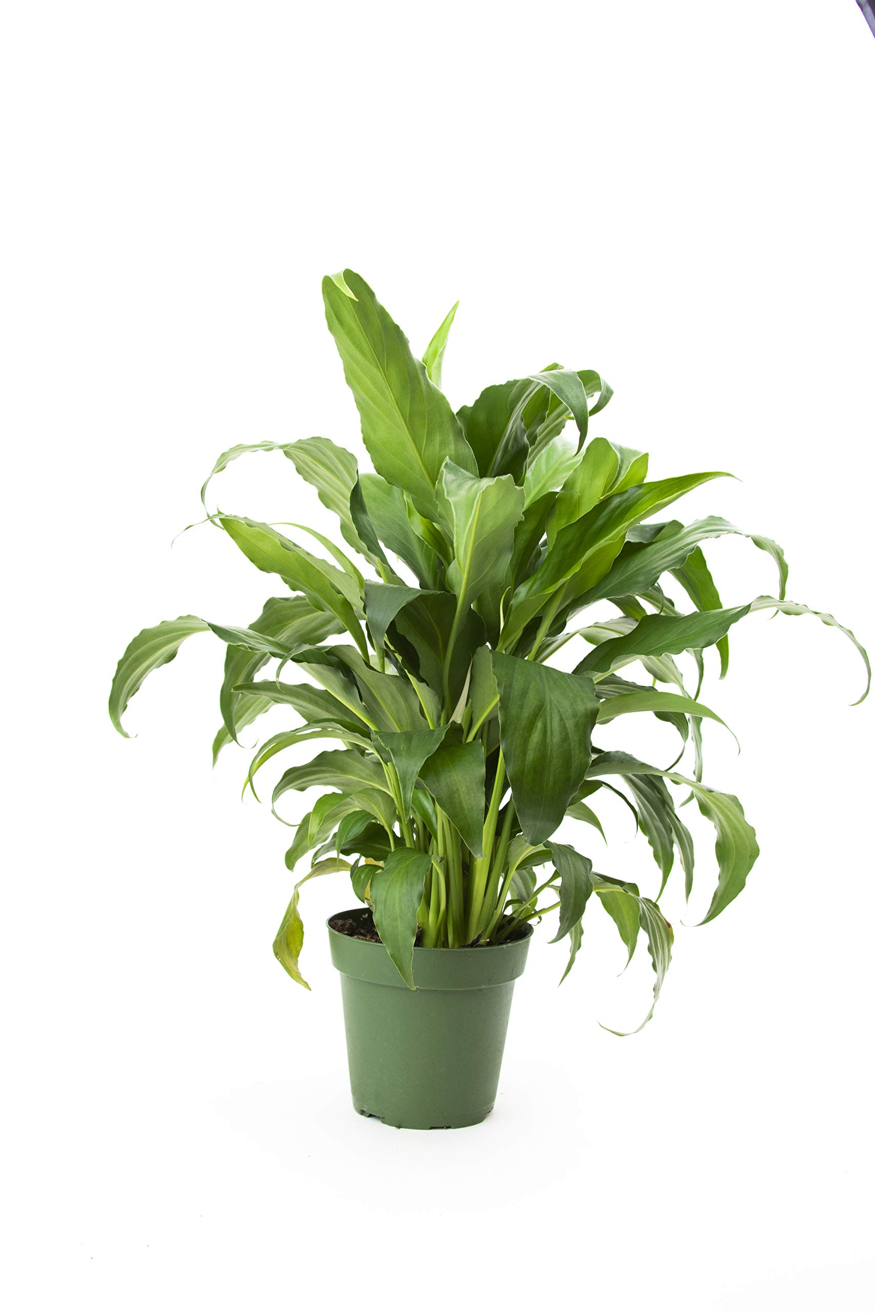 Burpee's 'Sweet Chico' Peace Lily Spathiphyllum | Indirect High Light, Easy Care House Plant | 4'' Pot