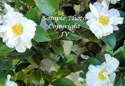 Amazon camellia sinensis 5 tea plant seeds tropical beauty camellia sinensis 5 tea plant seeds tropical beauty white flower clusters sun shade zones 9 mightylinksfo