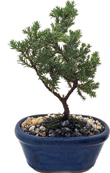 Amazon Com Miniature Japanese Juniper Bonsai Tree Ceramic Bonsai Pot Garden Outdoor