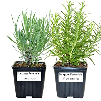 Live Rosemary and Lavender Plant - Set of 2 Hardy Herb Plants Grown Organic Non-GMO USA Great Container Herbs Shipped Potted Stargazer Perennials : Garden & Outdoor