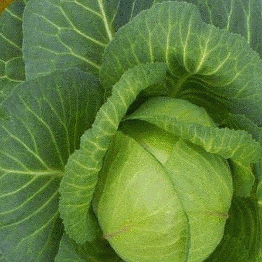 Amazon Com 500 Late Flat Dutch Cabbage Seeds Garden Outdoor