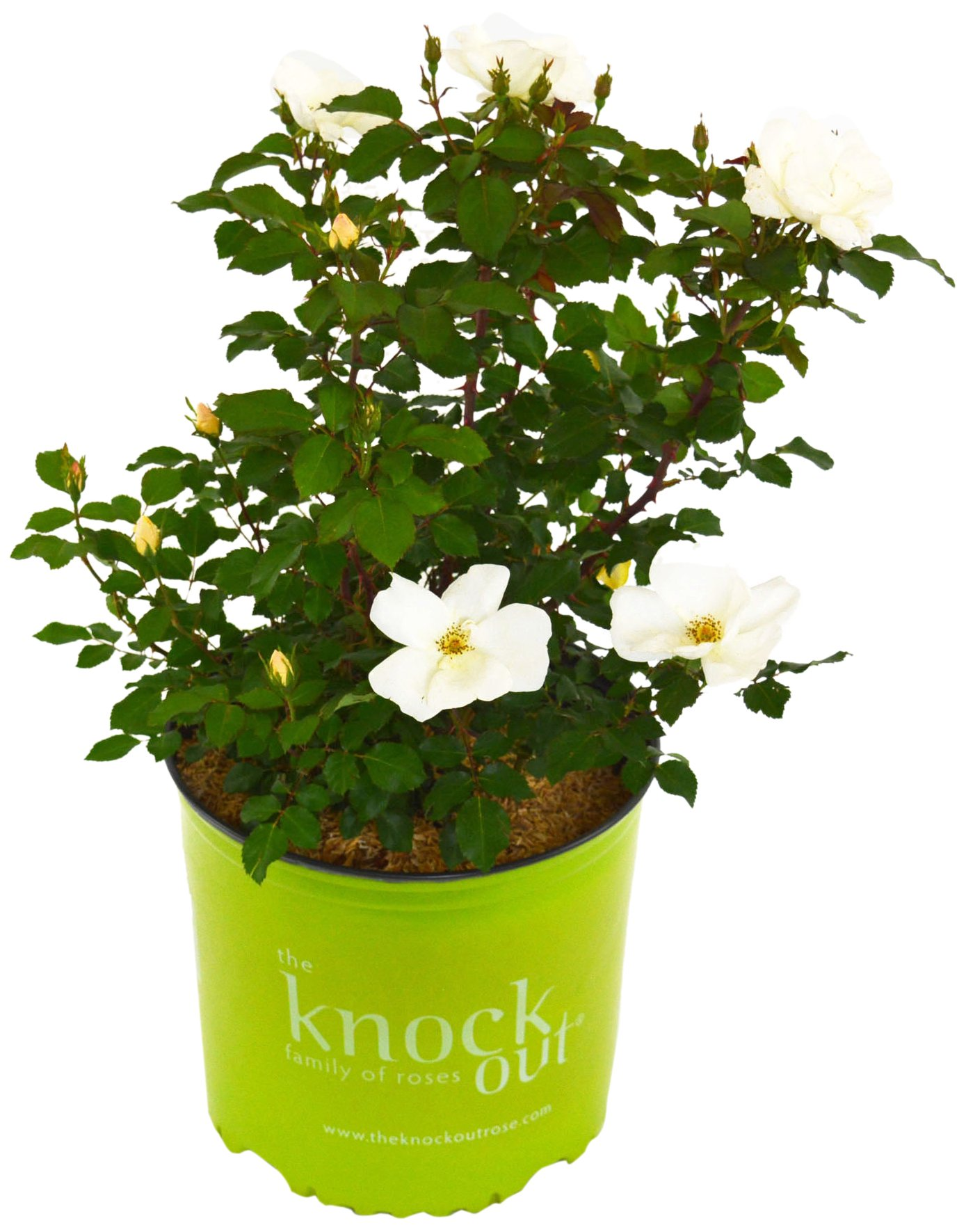 Knock Out Roses - Rosa White Knock Out (Rose) Rose, White Flowers, 2 - Size Container