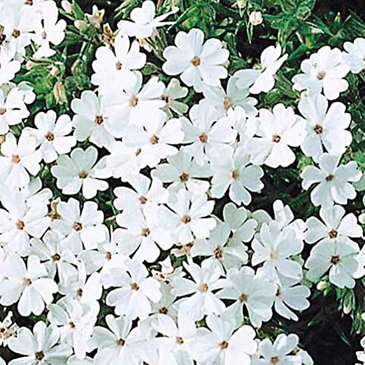 MURIEO jardín- 50pcs flores mar semillas, jardinería jardín flores al aire libre de mar semillas casa césped decoración: Amazon.es: Jardín