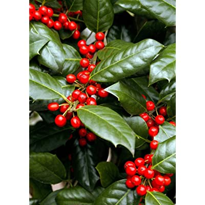 "(1 Gallon)""Nellie R Stevens"" Holly- Gorgeous Evergreen, Dense, Broad Pyramidal Shape, Great for Privacy Screen, Hedges or Borders : Garden & Outdoor"