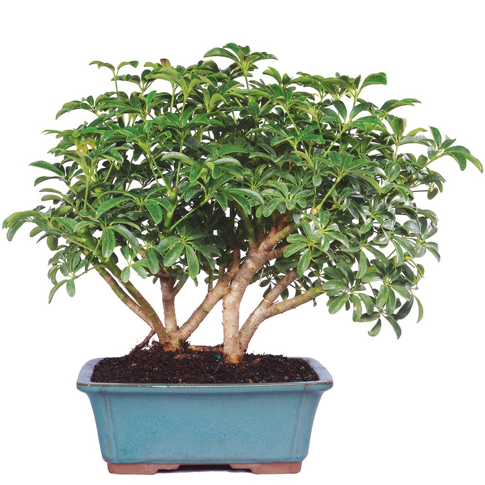 Brussels Hawaiian Umbrella Bonsai X Large Indoor Without Wiring Patio Lawn Garden